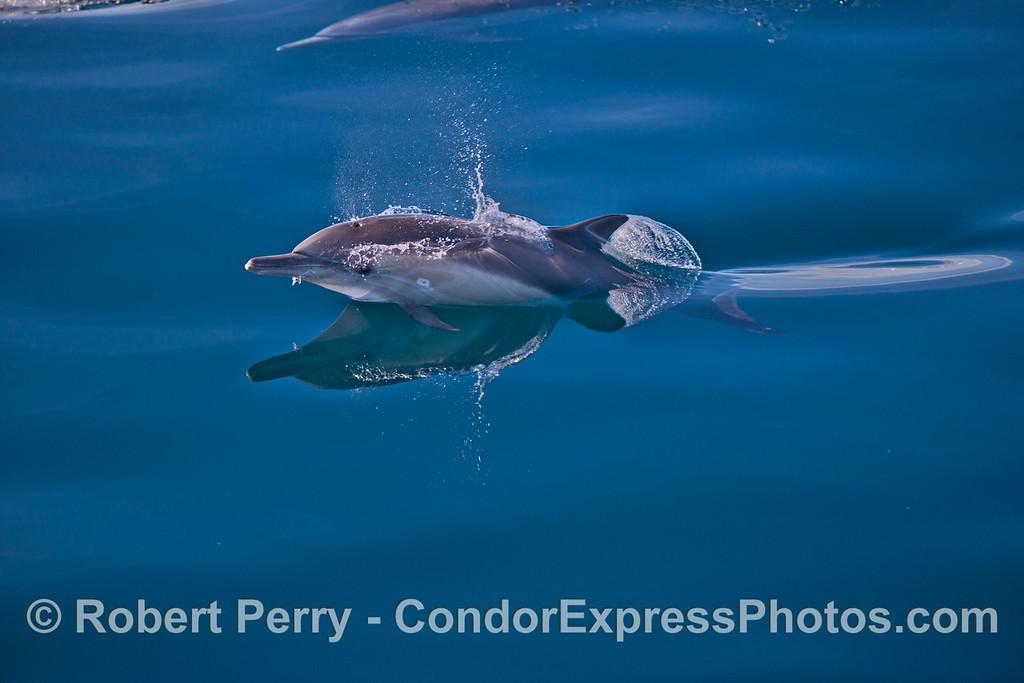 Delphinus capensis 2013 12-27 SB Channel-025