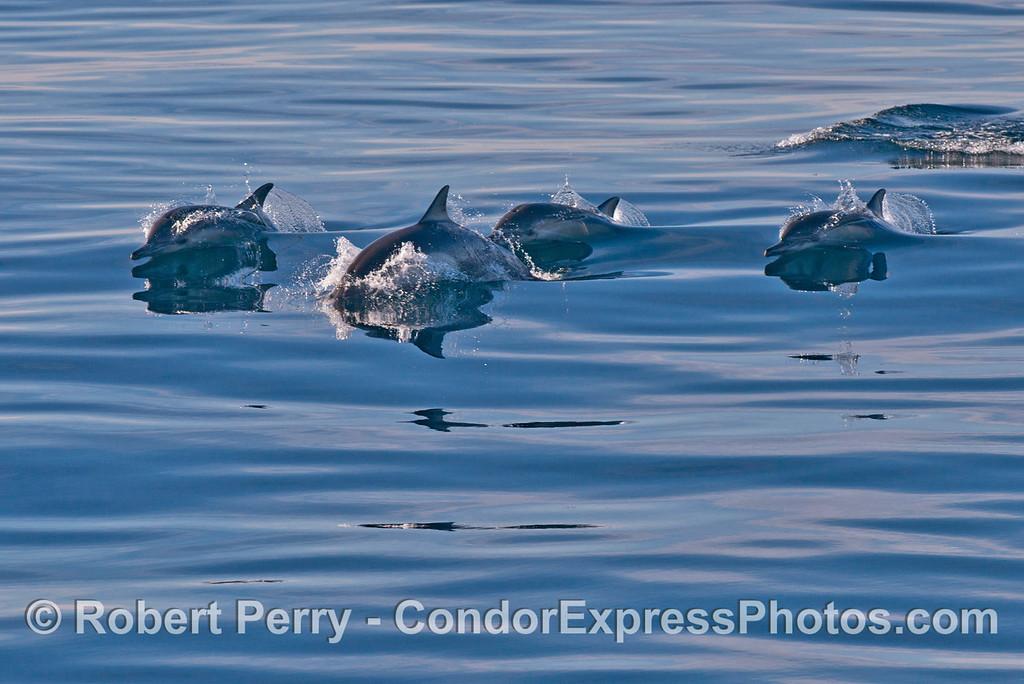 Delphinus capensis 2013 12-27 SB Channel-023