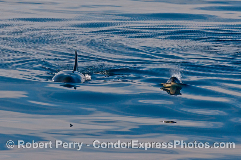 Orcinus orca cow calf 2013 12-27 SB Channel-269