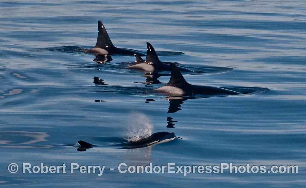 Orcinus orca FIVE 2013 12-27 SB Channel-a-015