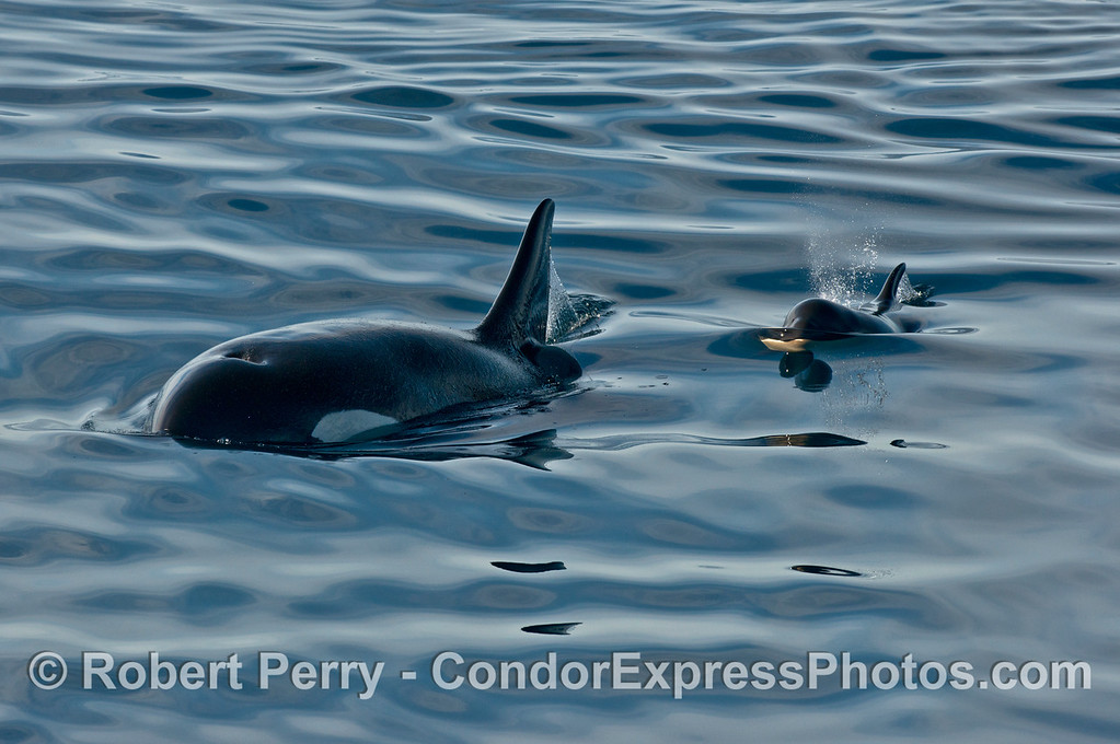 Orcinus orca cow calf 2013 12-27 SB Channel-555