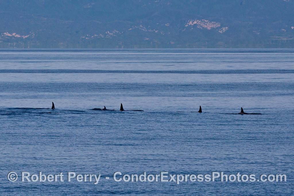 Orcinus orca FIVE 2013 12-27 SB Channel-463