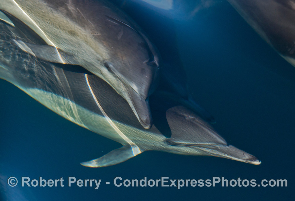 Delphinus capensis 2013 12-27 SB Channel-040