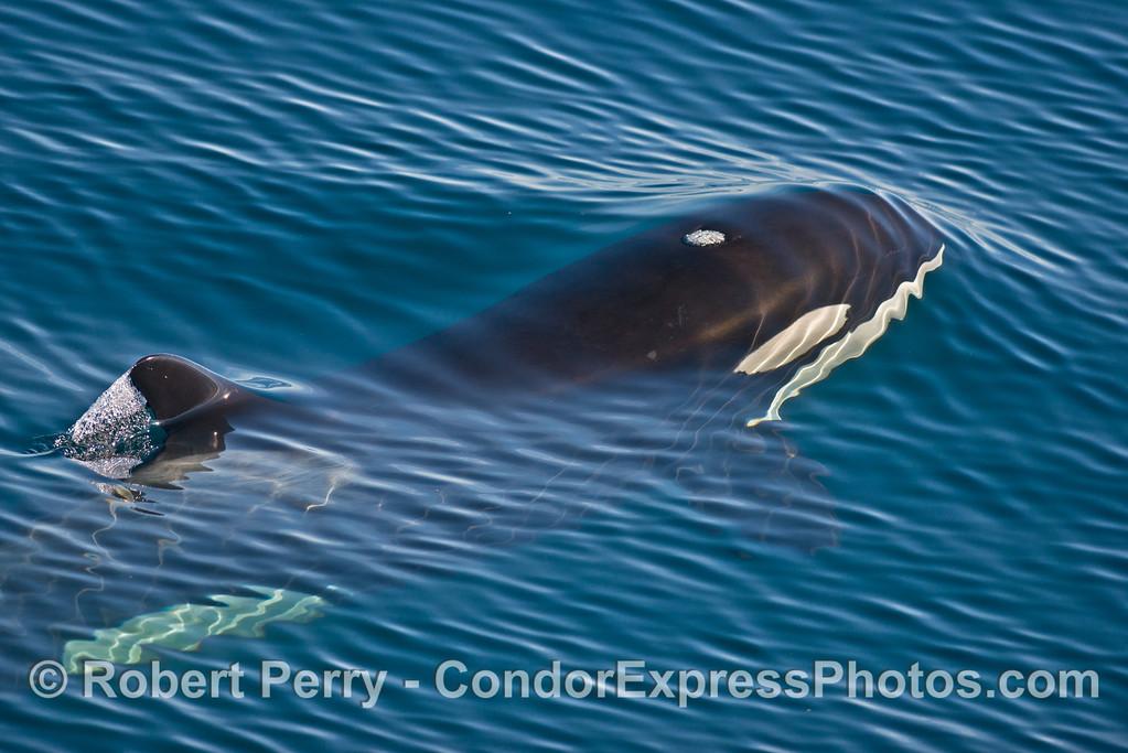 Orcinus orca UW 2013 12-27 SB Channel-217
