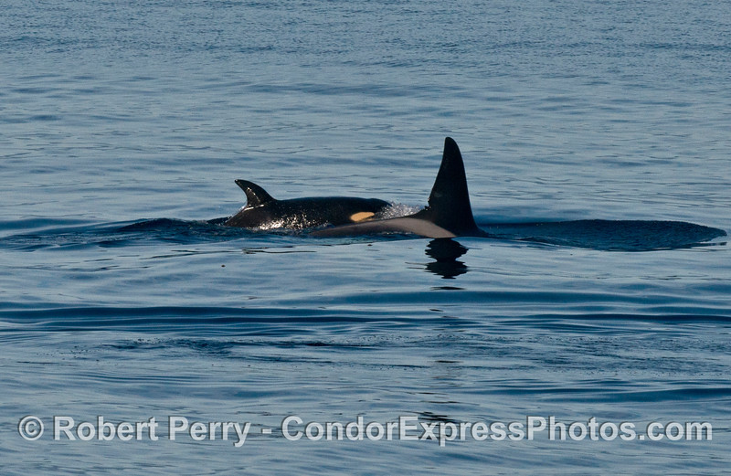 Orcinus orca cow calf 2013 12-27 SB Channel-488