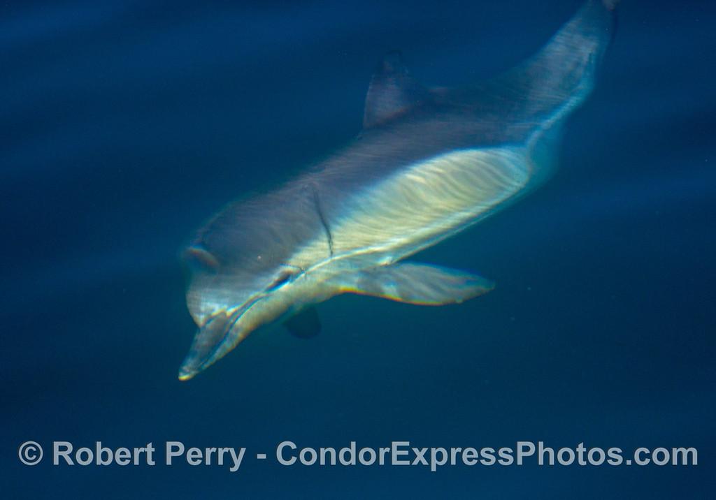 Delphinus capensis 2013 12-27 SB Channel-005