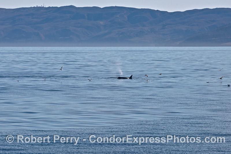 Orcinus orca Sta Cruz Isl 2013 12-27 SB Channel-053