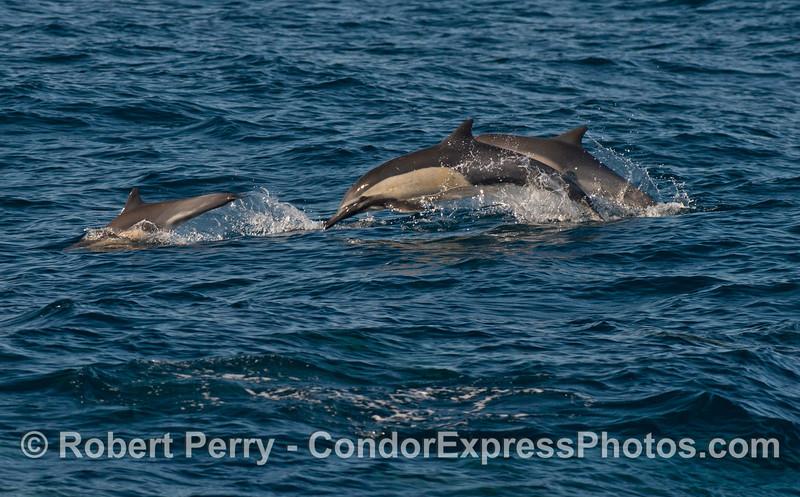 Long beaked common dolphins (<em>Delphinus capensis</em>) on the move.