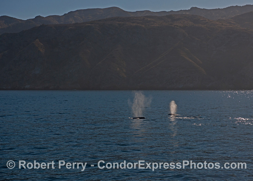 Twin spouts - Pacific gray whales (<em>Eschrichtius robustus</em>) at Santa Cruz Island.