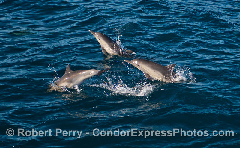 Three long beaked common dolphins (<em>Delphinus capensis</em>) captured in a leaping sequence.