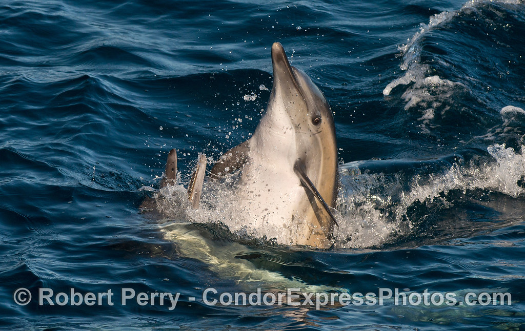 Two long beaked common dolphins (<em>Delphinus capensis</em>) socializing.