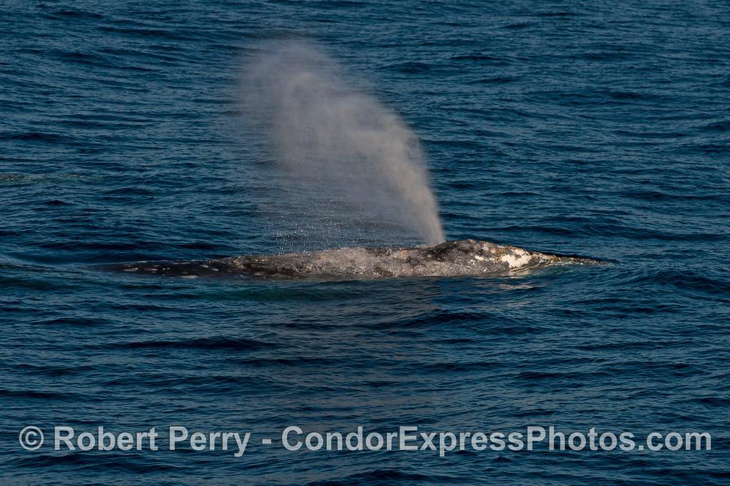 Pacific gray whale (<em>Eschrichtius robustus</em>)