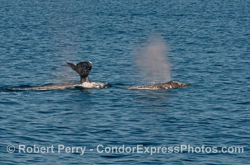 Pacific gray whales (<em>Eschrichtius robustus</em>)