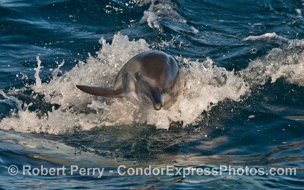 Long beaked common dolphin (<em>Delphinus capensis</em>) leaps directly at the camera!