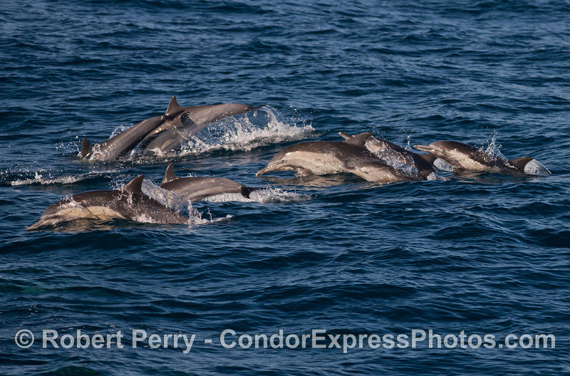 Long beaked common dolphins (<em>Delphinus capensis</em>) on the move.