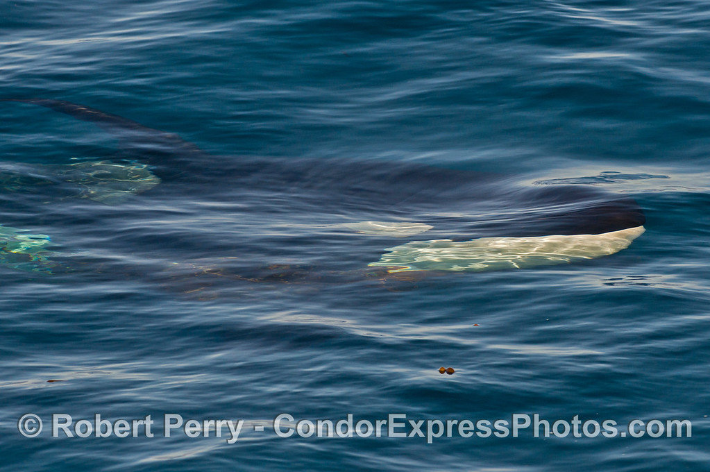Image 1 of 2:  Right side of submerged killer whale (<em>Orcinus orca</em>).