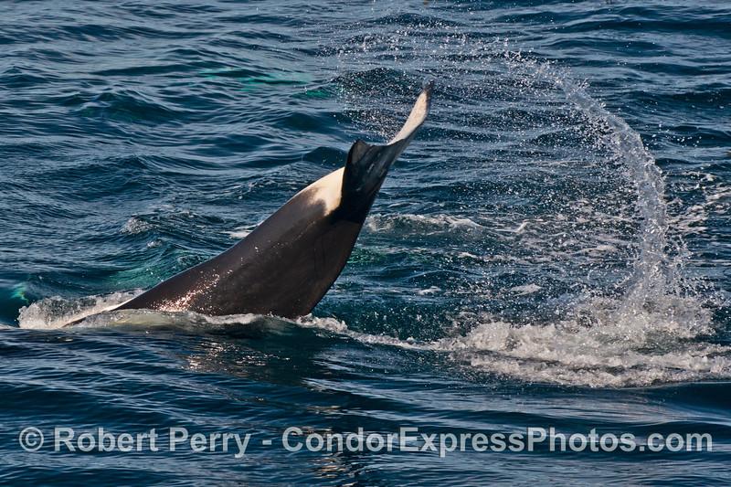Tail slap - killer whale (<em>Orcinus orca</em>).