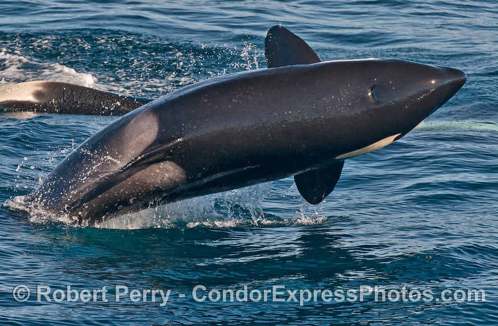 Image 2 of 2:  a killer whale (<em>Orcinus orca</em>) breach.