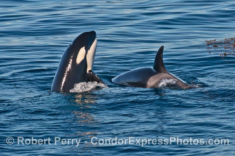 Two killer whales (<em>Orcinus orca</em>), one spy hop.