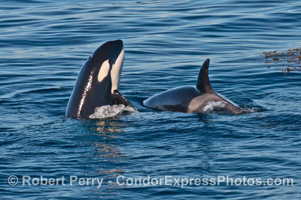 Two killer whales (<em>Orcinus orca</em>), one spy hop.