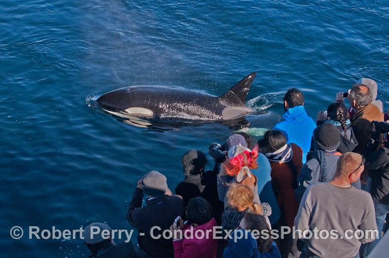 A killer whale (<em>Orcinus orca</em>) introduces itself.