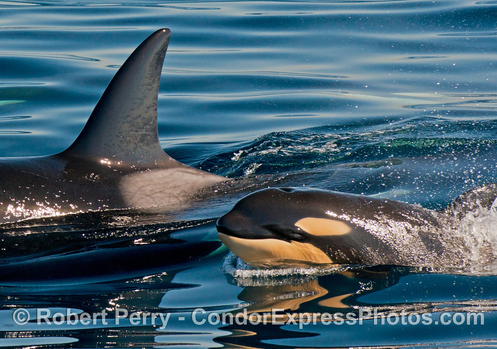 A killer whale (<em>Orcinus orca</em>) mother and her very young calf.