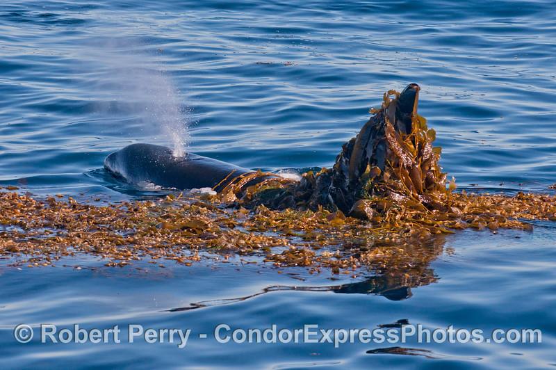 More kelping - killer whale (<em>Orcinus orca</em>).