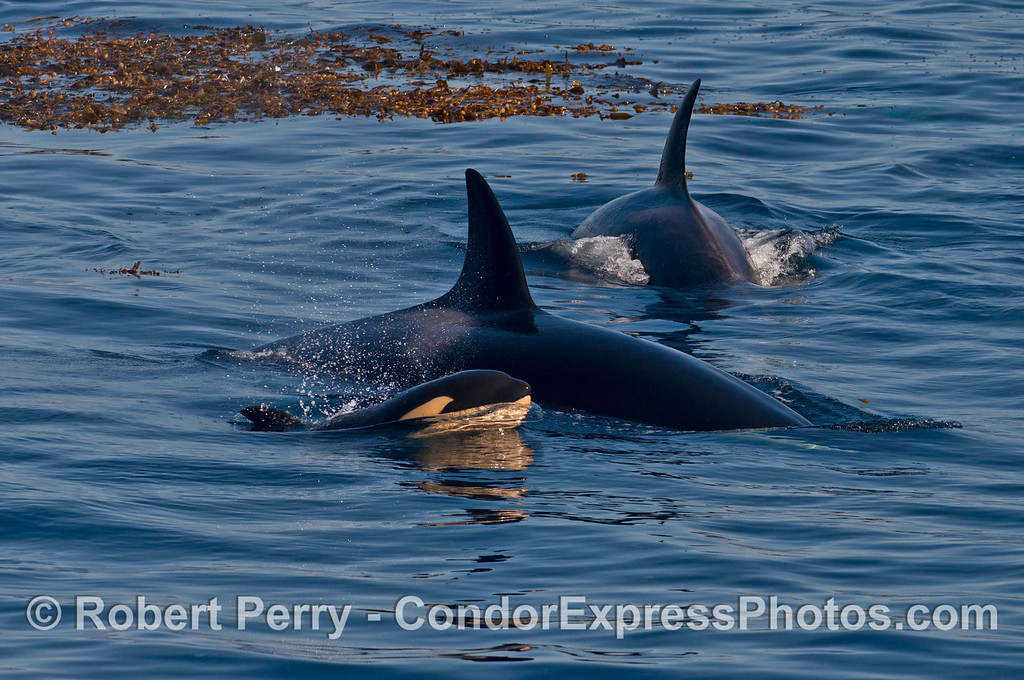 A very young calf and mother killer whales (<em>Orcinus orca</em>).