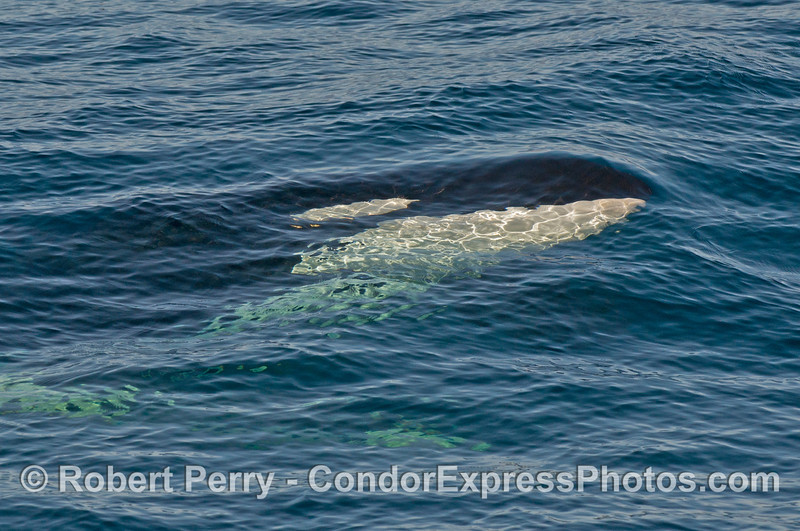 Image 2 of 2:  Right side of submerged killer whale (<em>Orcinus orca</em>).