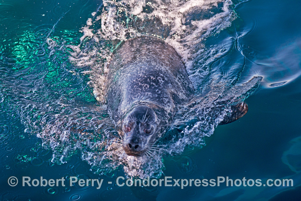 Harbor seal (<em>Phoca vitulina</em>) under attack by killer whales (<em>Orcinus orca</em>).