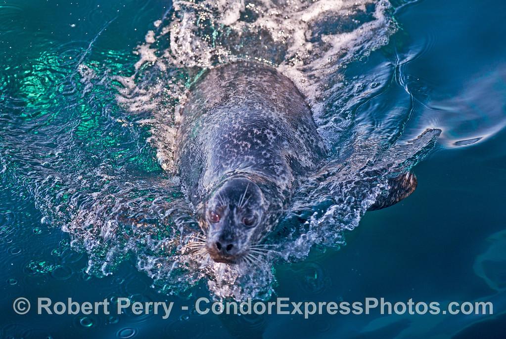 Harbor seal (<em>Phoca vitulina</em>) under attack by killer whales (<em>Orcinus orca</em>).