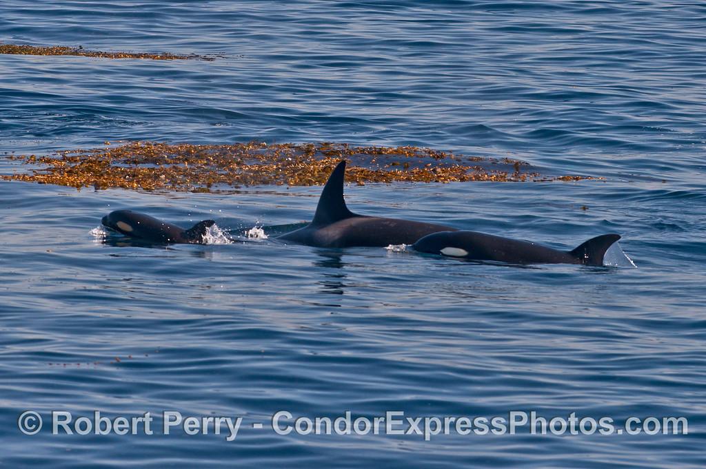 Kelp paddy and killer whales (<em>Orcinus orca</em>).