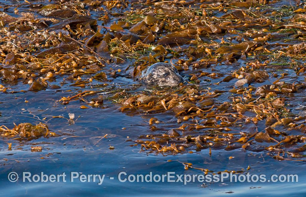 "Harbor seal (<em>Phoca vitulina</em>) ""hiding"" in drifting giant kelp paddy (<em>Macrocystis pyrifera</em>)."