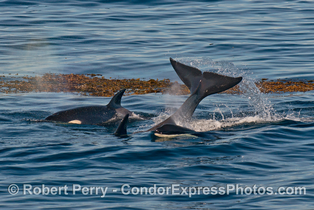 A bunch of killer whale (<em>Orcinus orca</em>) activity around a drifting kelp paddy with a harbor seal.