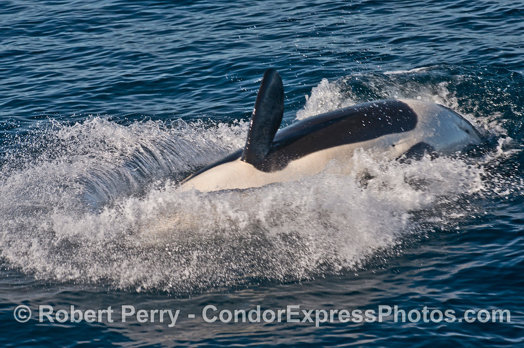 A big splash from a frisky killer whale (<em>Orcinus orca</em>).