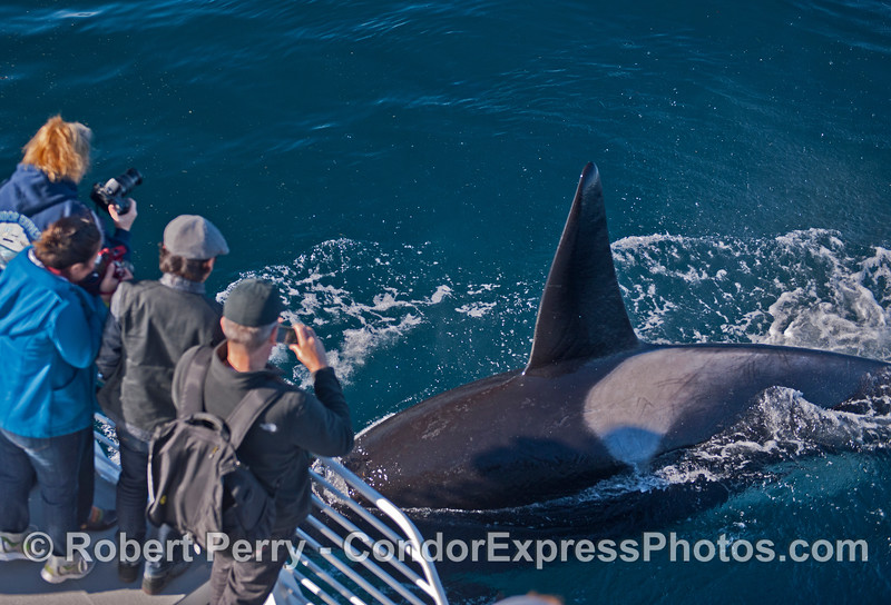 A VERY close look at a killer whale (<em>Orcinus orca</em>).