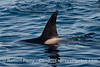 Killer whale (Orcinus orca) dorsal fin - close.