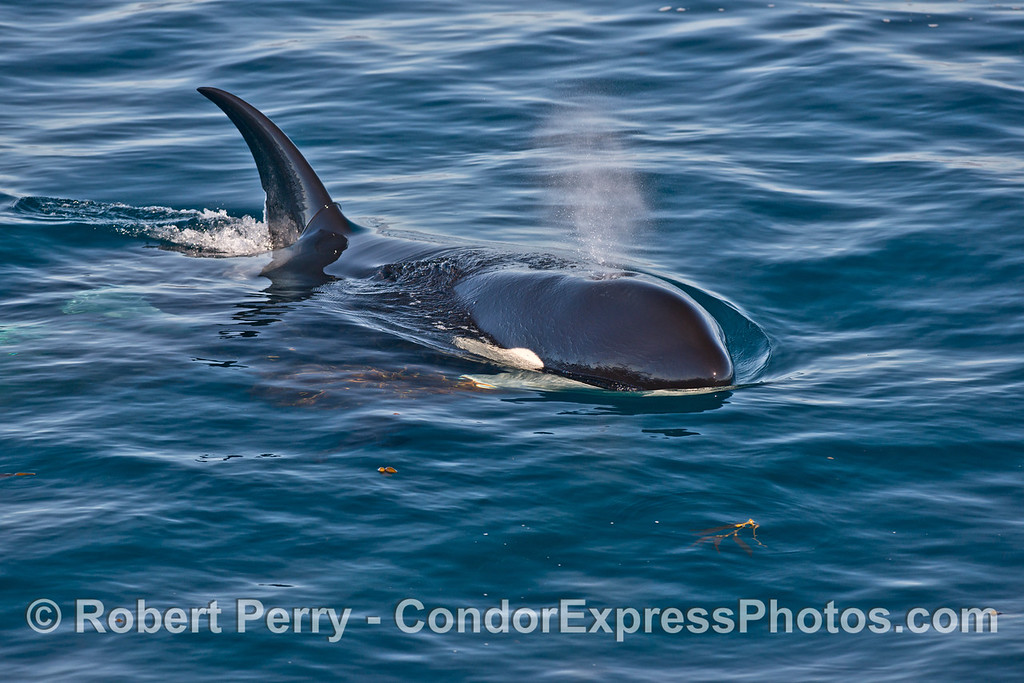 A large killer whale (<em>Orcinus orca</em>) - head shot with spout and giant kelp on pectoral fin.