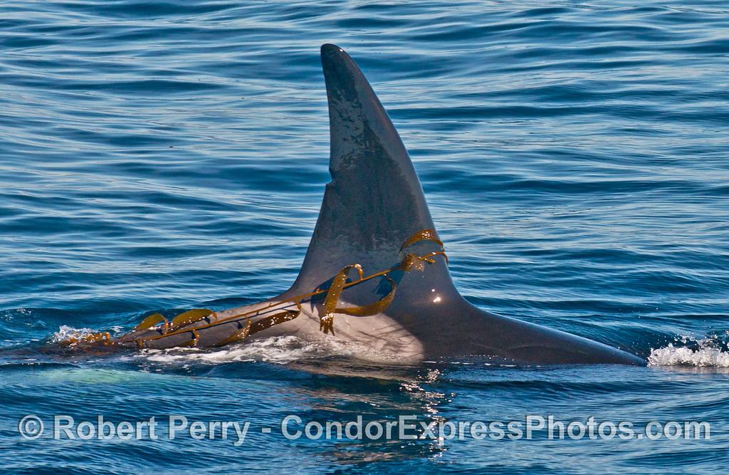 Dorsal fin of a killer whale (<em>Orcinus orca</em>) kelping.