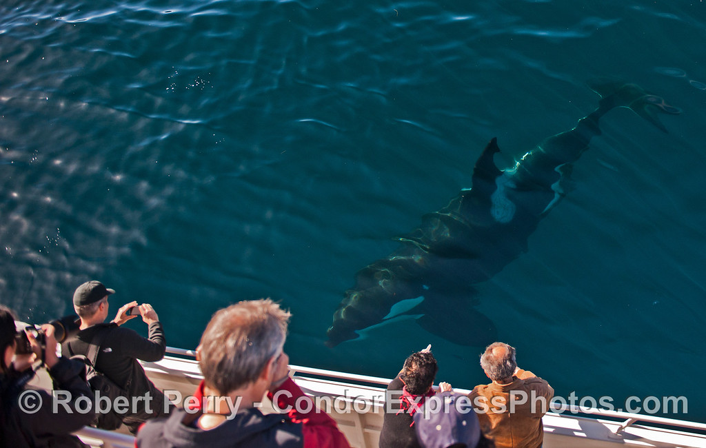 A friendly killer whale (<em>Orcinus orca</em>) gets its picture taken.