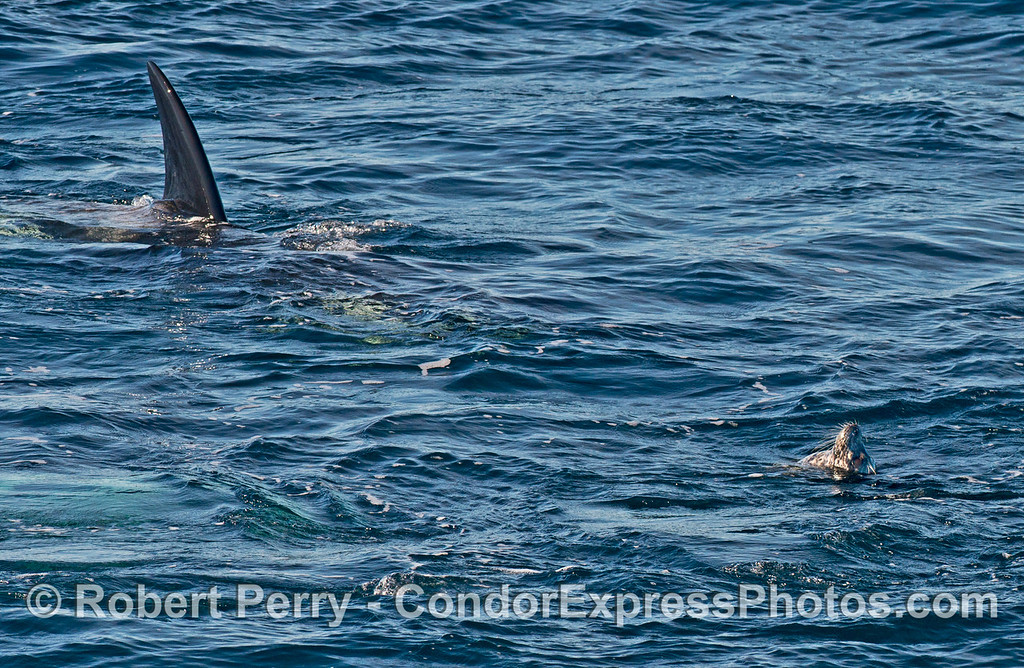 A killer whale (<em>Orcinus orca</em>) approaches a Pacific harbor seal (<em>Phoca vitulina</em>).