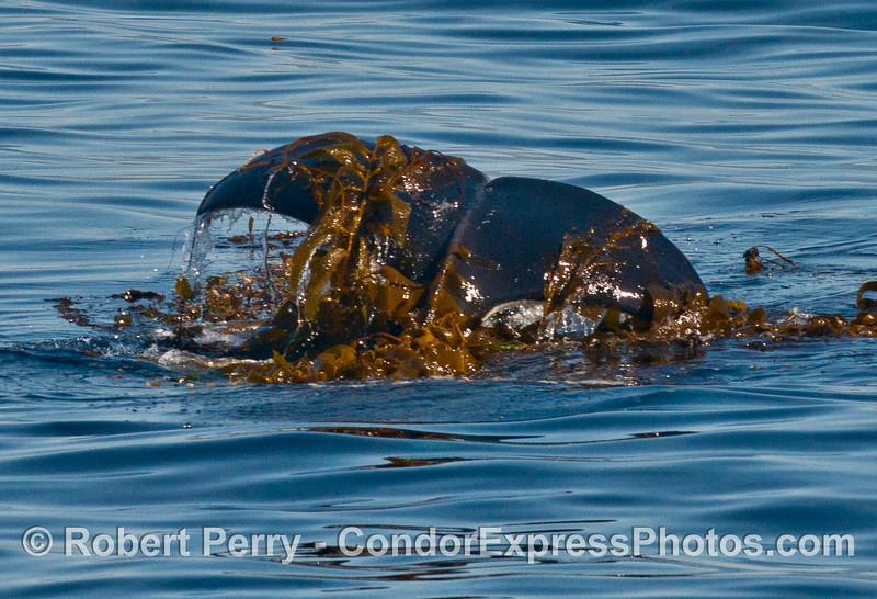 Tail flukes of a killer whale (<em>Orcinus orca</em>) kelping.