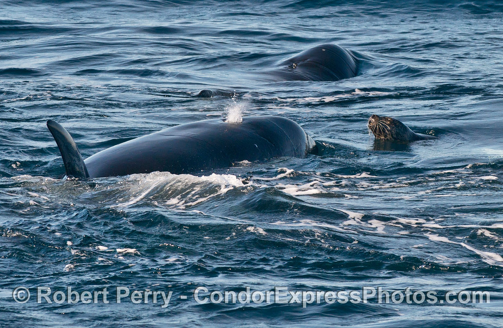 Harbor seal (<em>Phoca vitulina</em>) and two killer whales (<em>Orcinus orca</em>).