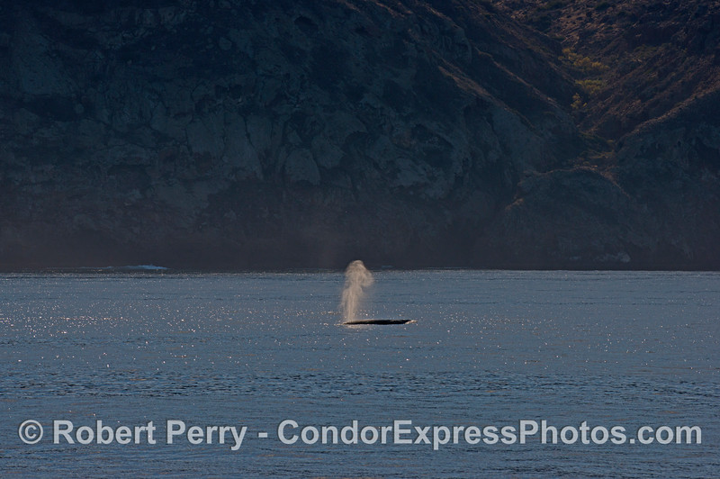 A gray whale (<em>Eschrichtius robustus</em>) sends up a tall spout as it travels along the north face of Santa Cruz Island.