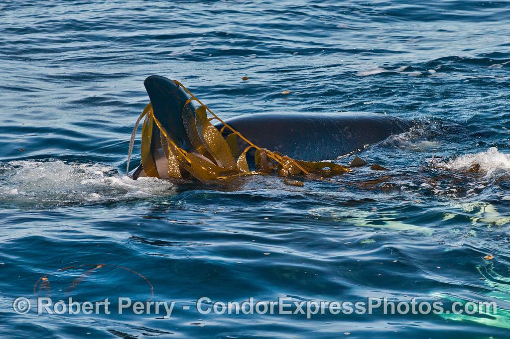 Killer whale (<em>Orcinus orca</em>) kelping.
