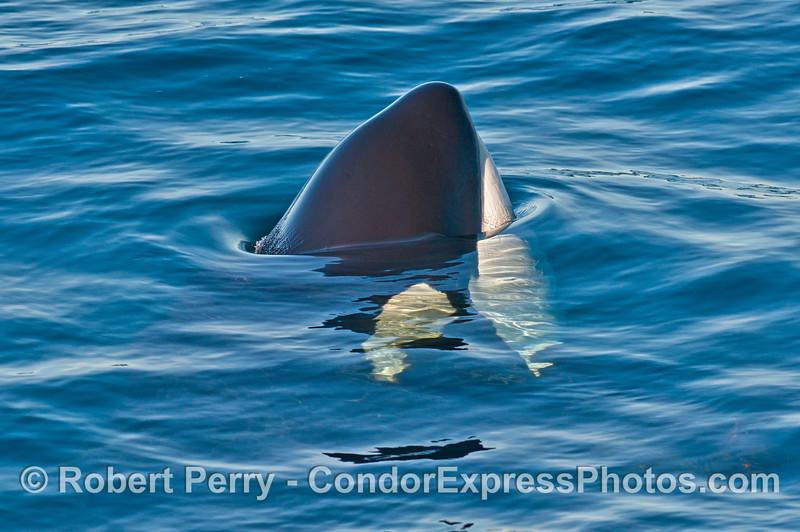 Tip of rostrum - killer whale (<em>Orcinus orca</em>).