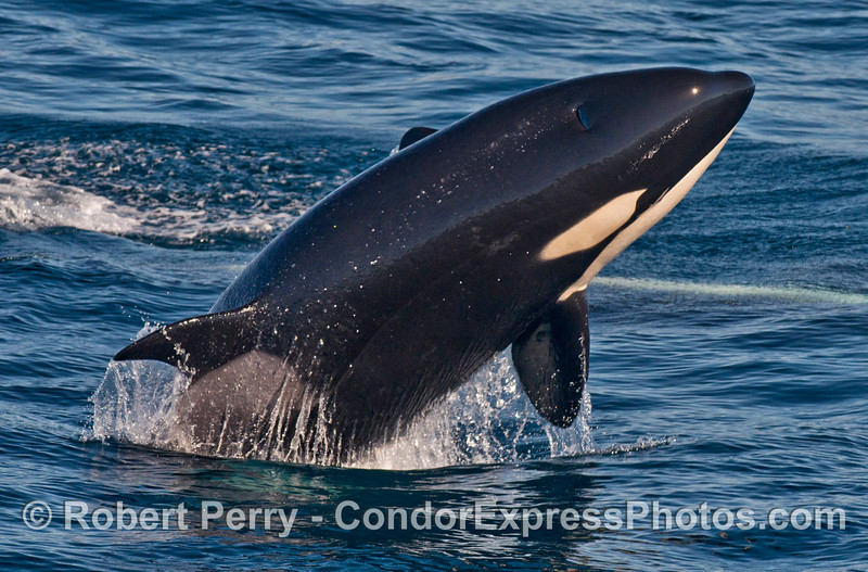 Image 1 of 2:  a killer whale (<em>Orcinus orca</em>) breach.