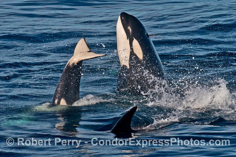 Killer whales (<em>Orcinus orca</em>) spy hop and slap their tail flukes.