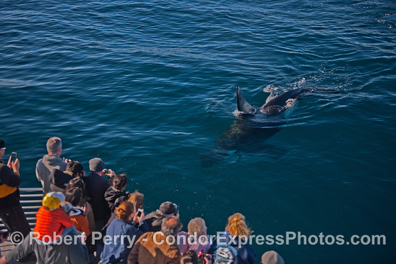 Image 2 of 2:  a killer whale (<em>Orcinus orca</em>) makes a friendly approach.