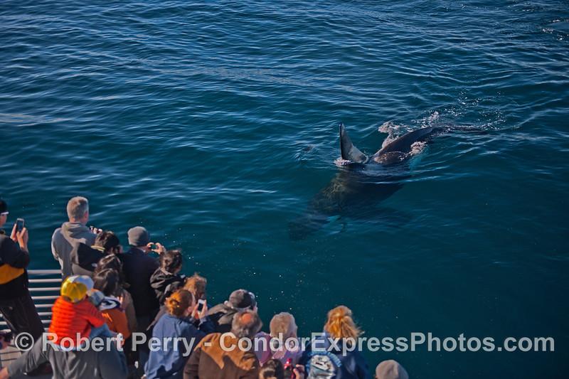 Image 2 of 2:  a killer whale (<em>Orcinus orca</em>) makes a friendly approach.